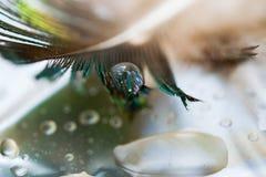 Капельки воды на предпосылке пера павлина и зеленых листьев, селективный фокус, Стоковая Фотография