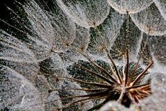 Капельки воды на семени одуванчика в подсвеченном стоковое изображение