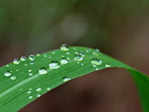Капельки воды на травинке Стоковое Изображение