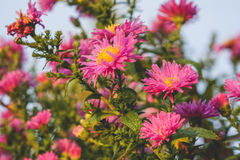 Капельки на розовых цветках стоковая фотография