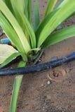 Капельного орошения ирригационной системы конца изображение запаса вверх - Стоковое Изображение RF