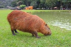 Капибара есть траву водой на Curitiba стоковые фотографии rf