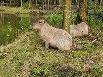2 капибары близко к пруду в petting зоопарке outdoors Стоковые Изображения RF