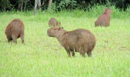 Капибары на зеленой траве Стоковая Фотография