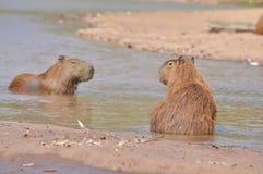 2 капибары на реке Стоковое Изображение