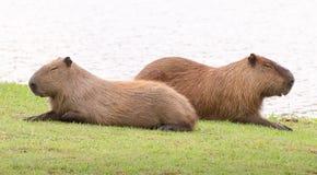 2 капибары спать совместно, сторона - мимо - сторона Стоковые Изображения
