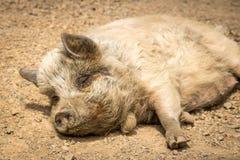 Капитан плита, спать свиньи Новой Зеландии Стоковая Фотография RF