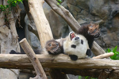 Капризная панда Стоковая Фотография