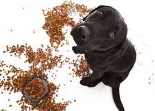 Капризный щенок! Стоковое Изображение