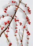 Каприфолий покрытый с снегом Стоковые Изображения
