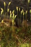 Капсулы споры волос покрывают мох в Манчестере, Коннектикуте Стоковое Фото