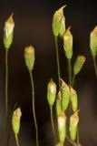 Капсулы споры волос покрывают мох в Манчестере, Коннектикуте Стоковая Фотография