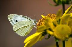 капуста бабочки Стоковое фото RF