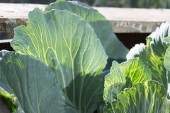 Капуста выходит с венами подсвеченный в kaleyard сада Стоковая Фотография RF