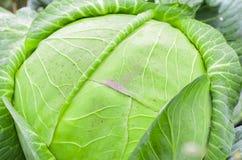 Капуста в огороде Стоковая Фотография RF