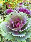 Капуста в саде Стоковая Фотография RF