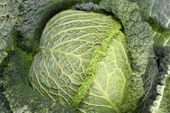 Капуста листовой капусты или лист Стоковое Фото