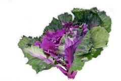 Капуста листовой капусты стоковое изображение rf