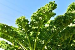 Капуста листовой капусты или лист Стоковая Фотография RF