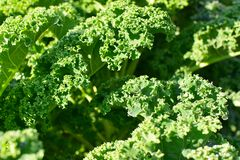 Капуста листовой капусты или лист Стоковое фото RF