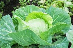 Капуста растя в саде green nature еда здоровая Стоковые Изображения