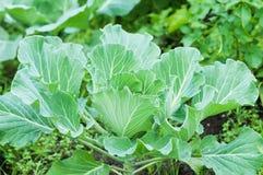 Капуста растя в саде green nature еда здоровая Стоковая Фотография RF