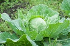 Капуста растя в саде green nature еда здоровая Стоковая Фотография