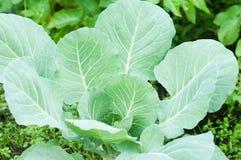 Капуста растя в саде green nature еда здоровая Стоковое Изображение