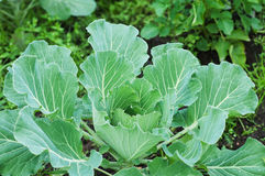 Капуста растя в саде green nature еда здоровая Стоковое фото RF