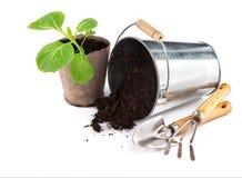 Капуста саженцев с почвой и садовыми инструментами ведра Стоковая Фотография