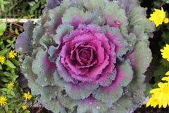 Капуста, фиолетовый цветок, осень Стоковые Изображения