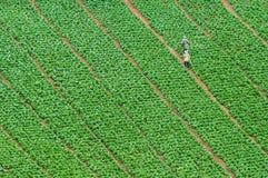 капуста Стоковая Фотография RF