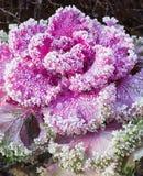 Капуста ornamental цветорасположения стоковое изображение