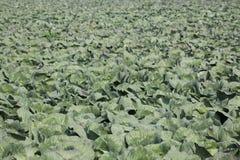 Капусты на поле Стоковая Фотография RF