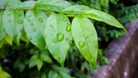 Капля росы на листьях стоковые фотографии rf