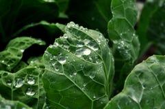 Капля росы на капусте савойя Стоковая Фотография