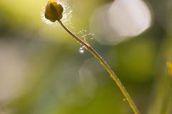 Капля росы на лютике Стоковое Изображение