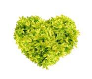 Капля росы сердца золотая, ягода голубя изолированная на белой предпосылке Стоковая Фотография RF