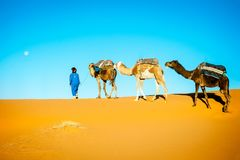Караван верблюда двигая в пустыню Сахары в утре Стоковые Изображения