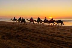 Караван верблюда на пляже на заходе солнца Essaouira Марокко Стоковые Изображения RF