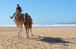 Караван верблюда на пляже Essaouira Стоковые Фото