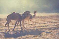 Караван верблюда путешествуя в роме вадей, Джордане Стоковое фото RF