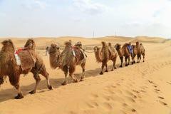 Караван верблюдов Стоковое Изображение