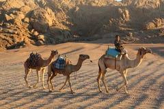 Караван верблюда езды бедуина однако пустыня Стоковое Фото