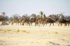 Караван верблюда идя через пустыню Стоковое Фото