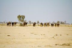 Караван верблюда идя через пустыню Стоковое Изображение RF