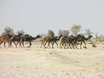 Караван верблюда идя через пустыню Стоковое Изображение