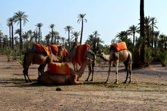 караван верблюдов Караван верблюда отдыхает перед быть посланным на длинном путешествии Стоковое Фото