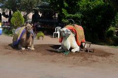 караван верблюдов Караван верблюда отдыхает перед быть посланным на длинном путешествии Стоковые Изображения
