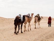 Караван в пустыне Сахары на заходе солнца двигает прочь к горизонту Стоковая Фотография